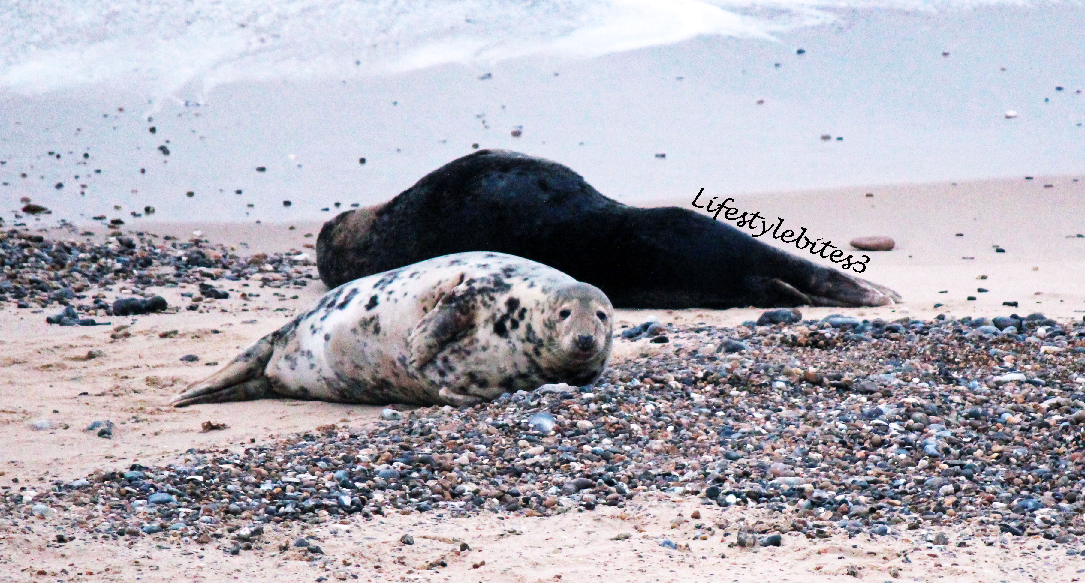 Travel: Grey Seals Spotting & Watching…